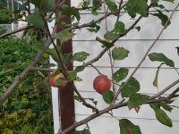 사과나무 한그루를 심었더니 달랑 두개만